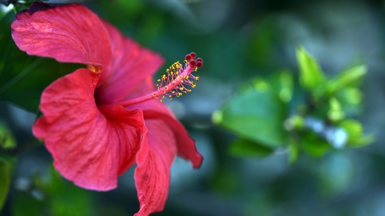 Hibiscus flower acids: the new AHAs